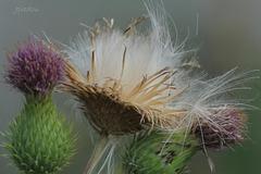 Cirse commun (Cirsium vulgare)