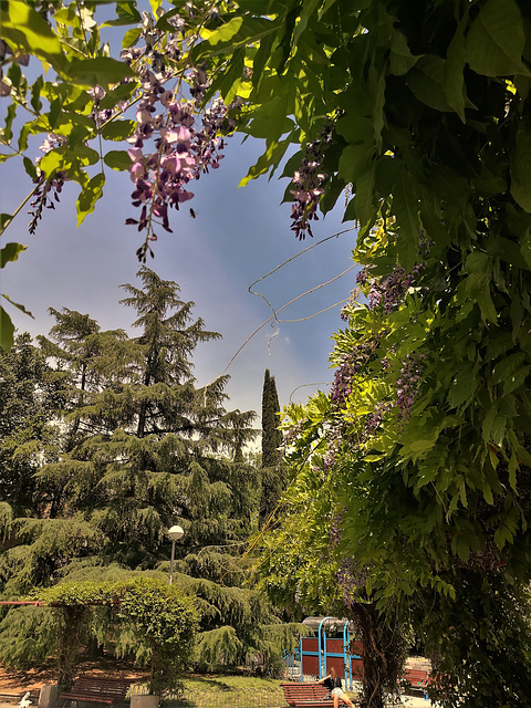 A little more wisteria (and a bee)