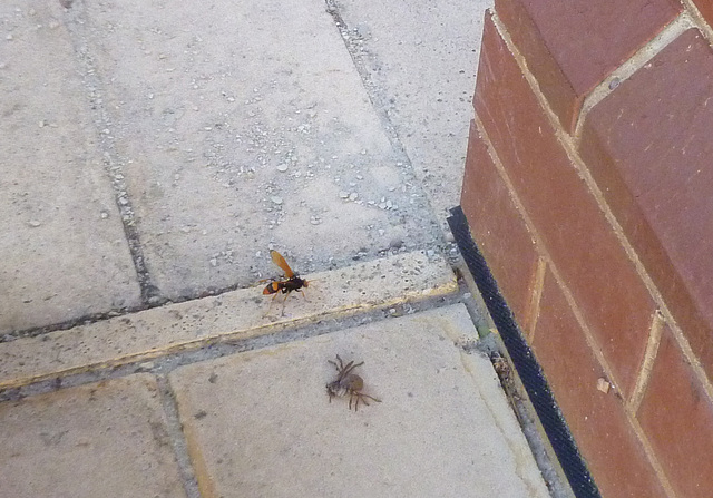 spider wasp deciding how to drag the spider back home