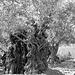 Ölbaum, Gethsemane
