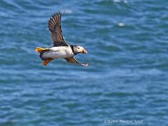 Puffin in flight ove the sea