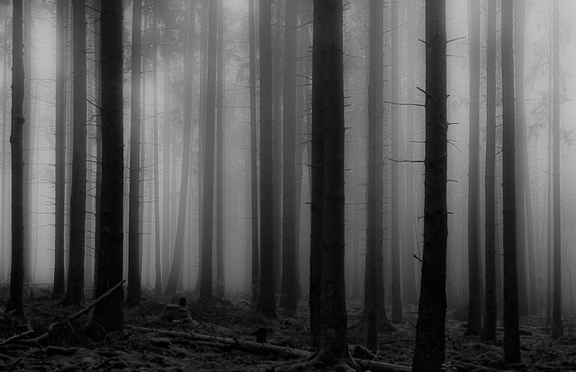 Ein nebliger Morgen im Fichtenwald - A foggy morning in the spruce forest