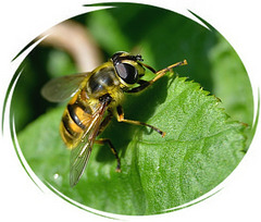 Wasp ? ...Bee ? or Hornet ?....It's a Hoverfly !!!