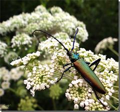 Aromia moschata mâle.