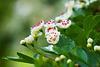 Weißdornblüten ganz nah - Hawthorn flowers very close
