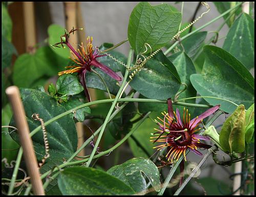 Passiflora 'Sunfire' (3)