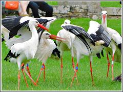 Vol de cigognes blanches au parc zoologique de Pleugueneuc