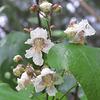 Catalpa speciosa flowers