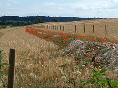 A Trench ~ A Fence ~ Millions of Poppies