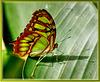 Grün getupfter Schwalbenschwanz, Unterseite. ©UdoSm