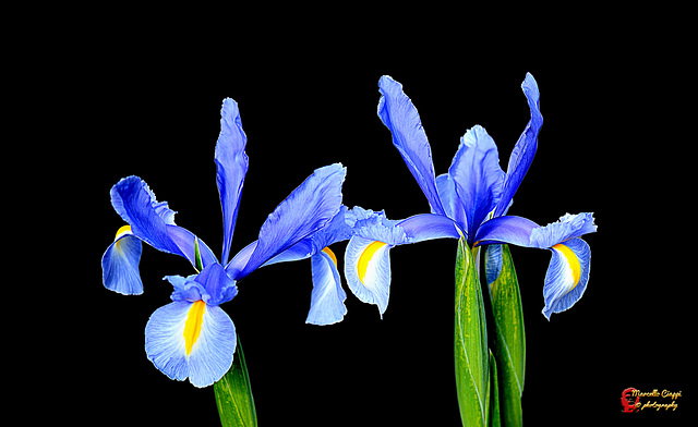 Iris on black  (on explore)