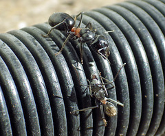 Camponotus species