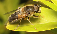 IMG 1485Hoverfly
