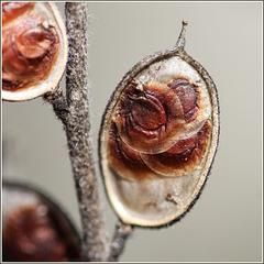 Schildkresse Samen