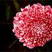 Persian Giant Allium