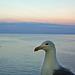 Sorrento GR Seagull 1