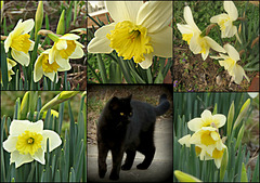 Guardian of  the Lady Daffs ..
