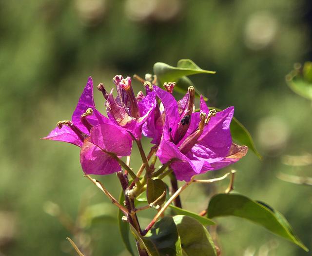 Tolone fiorita