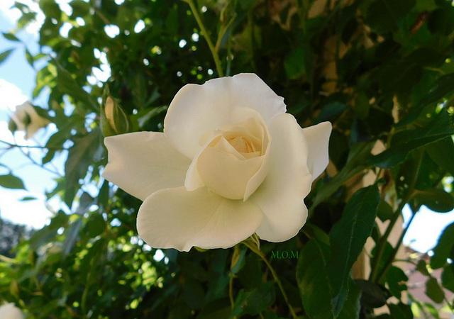 Une rose blanche pour tous ceux et celles qui souffrent***************