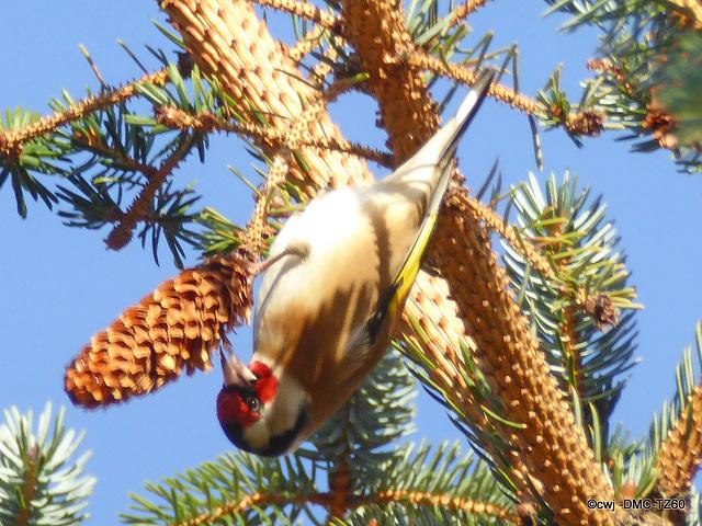 Goldfinch feeding off pine cone