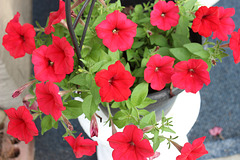 This container welcomes you under our Carport :))  Petunias :)