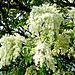 Blütenstand der Manna-Esche.  ©UdoSm