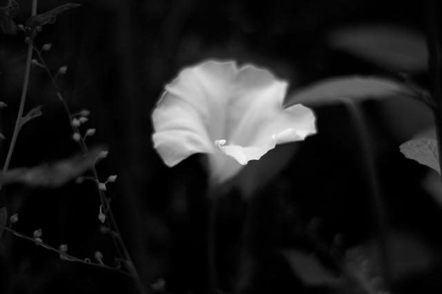 Champêtre : Fleur blanche en N&B