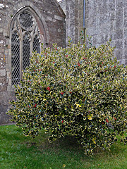 Bush by Stoke Climsland Church