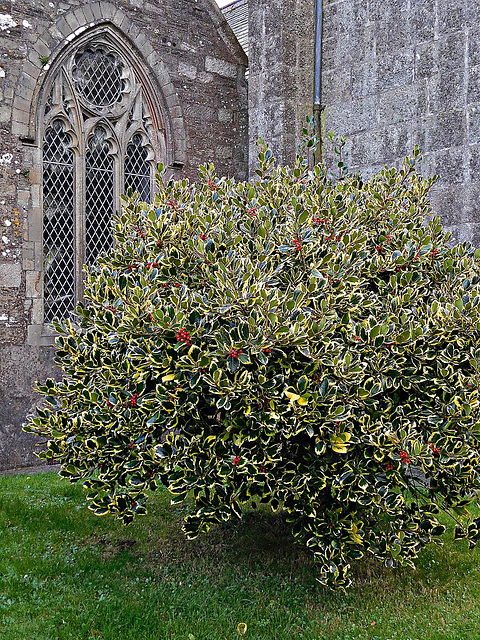 Bush by Stoke Climsland Church