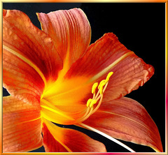 Fire lily burning from  inside... ©UdoSm