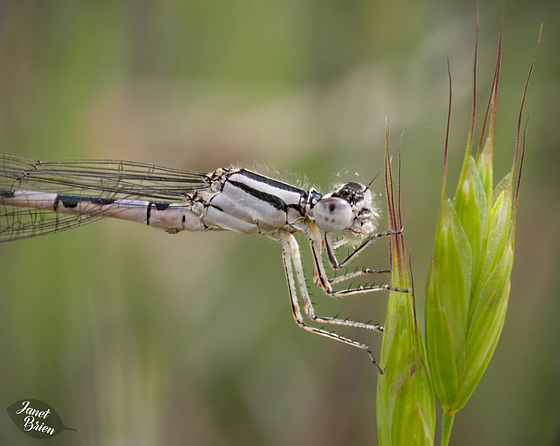 199/366: Silver Damselfly Close-Up (+1 note)