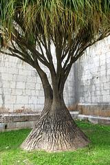 Perfection végétale (Beaucarnea recurvata, pied d'éléphant ou arbre bouteille)