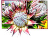 Königs-Protea (Protea cynaroides).   ©UdoSm