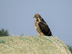 Swainson's Hawk watching for its next snack