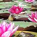 Flowering pond