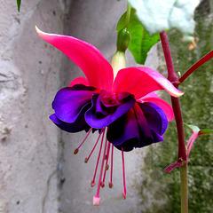 Fuchsia hybrida