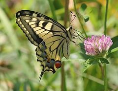 Un  Machaon (Papilio machaon)