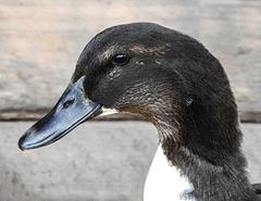 Unknown duck species (domestic)