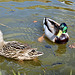 Ducks on the Shropshire Union canal