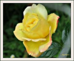 Une Rose pour un bel été de Juillet et un bon we !
