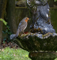 Our robin takes notice before he drinks.