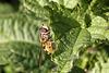 Wespen-Schwebfliege