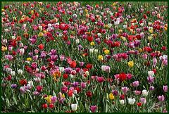 pour vous mesdames, ce petit bouquet de tulipes ....