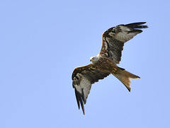 Red Kite ~~~ Milvus Milvus