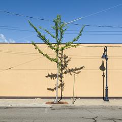 An ornamental sidewalk ginkgo of urban streetscape improvement.