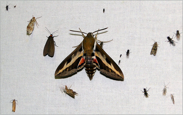 Bedstraw Hawk-Moth ~ Walstropijlstaart (Hyles gallii) in the middle...