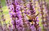 Broad-bordered Bee Hawk-moth ~ Glasvleugelpijlstaart  (Hemaris fuciformis)...