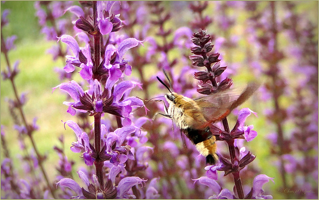 Broad-bordered Bee Hawk-moth ~ Glasvleugelpijlstaart  (Hemaris fuciformis)...