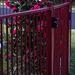 Fenced camellias