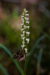 Spiranthes odorata (Fragrant Ladies'-tresses orchid) + Urbanus proteus (Long-tailed Skipper)